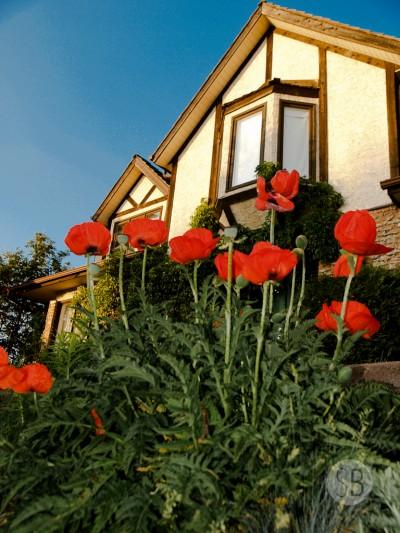 1-Poppies-SB301068